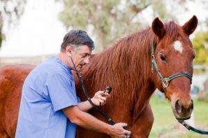 veterinarian listening to horse heart bead
